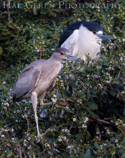 Black Crowned Night Heron with Fledgling Newark, California 1304N-BWF6