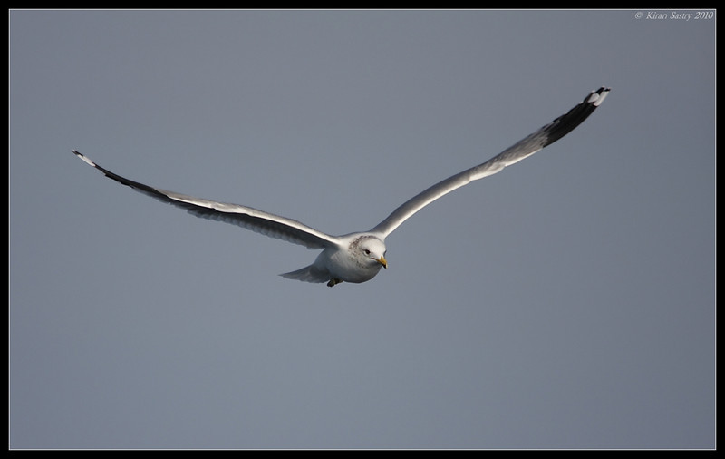 California Gull, Oceanside Pelagic Trip, San Diego County, California, January 2010