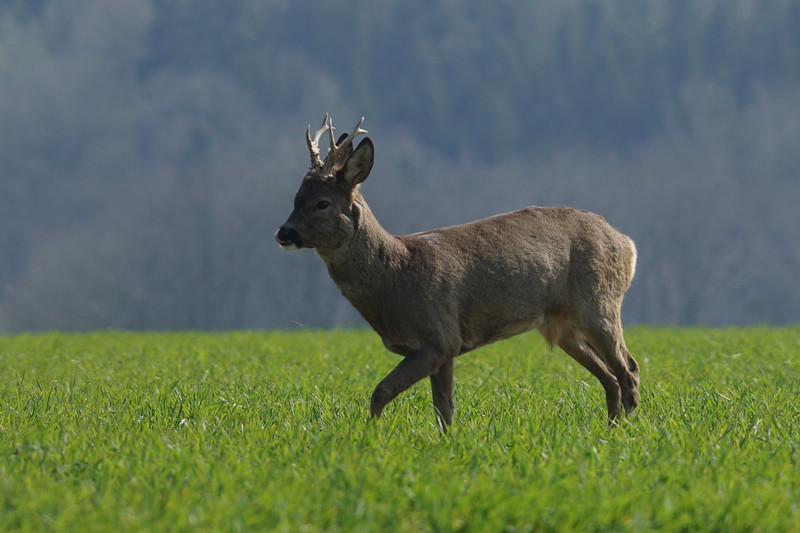 Rehe in Hofkirchen
