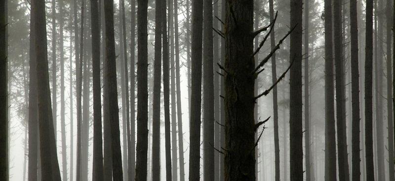 Fir & fog 0481c.jpg