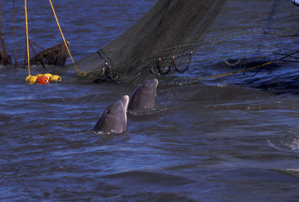 Dolphin in the Golden Isles
