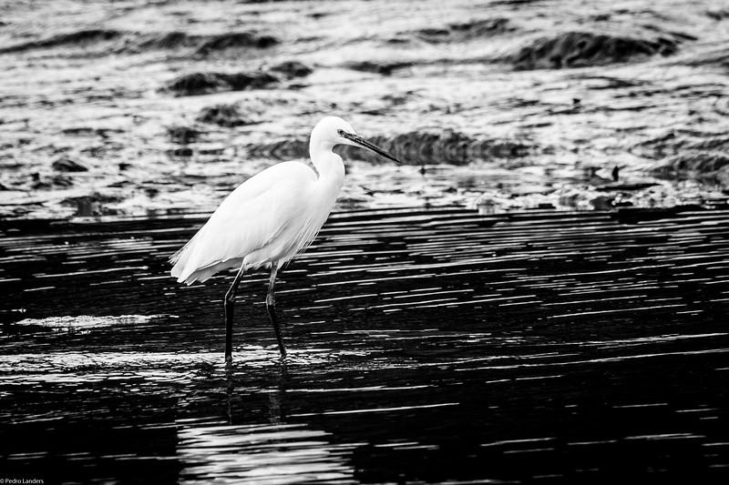 Egret - Mono