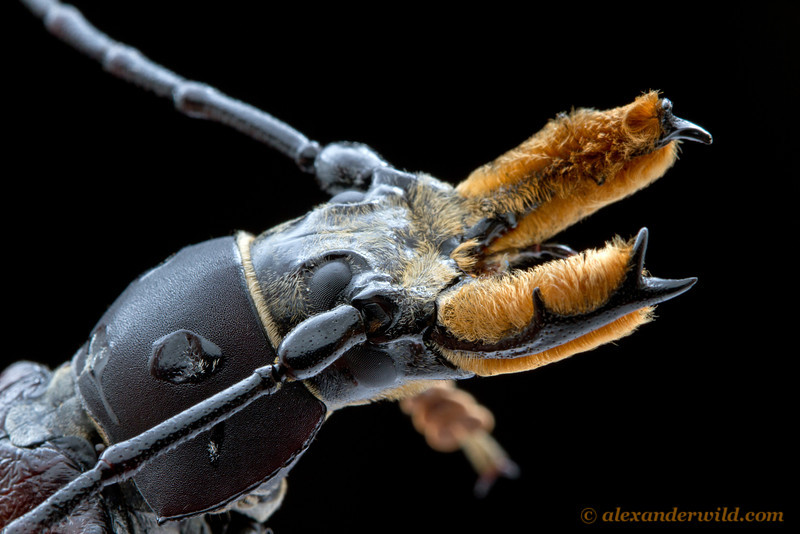 Callipogon longhorn beetle.