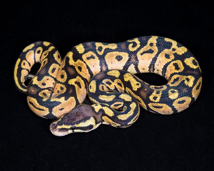 Pastel M0814, Sold Tulsa Reptile show