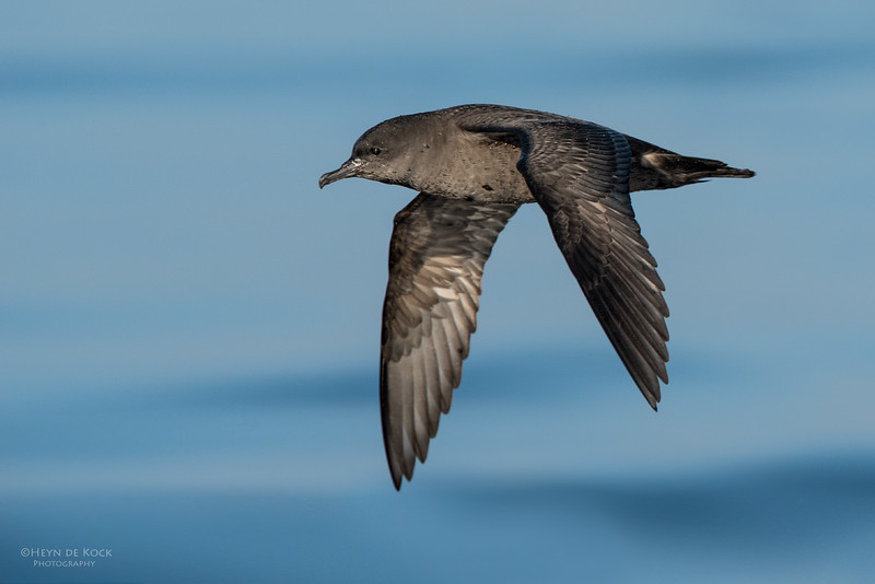 Short-tailed Shearwater, Wollongong Pelagic, NSW, Aus, Oct 2014.jpg