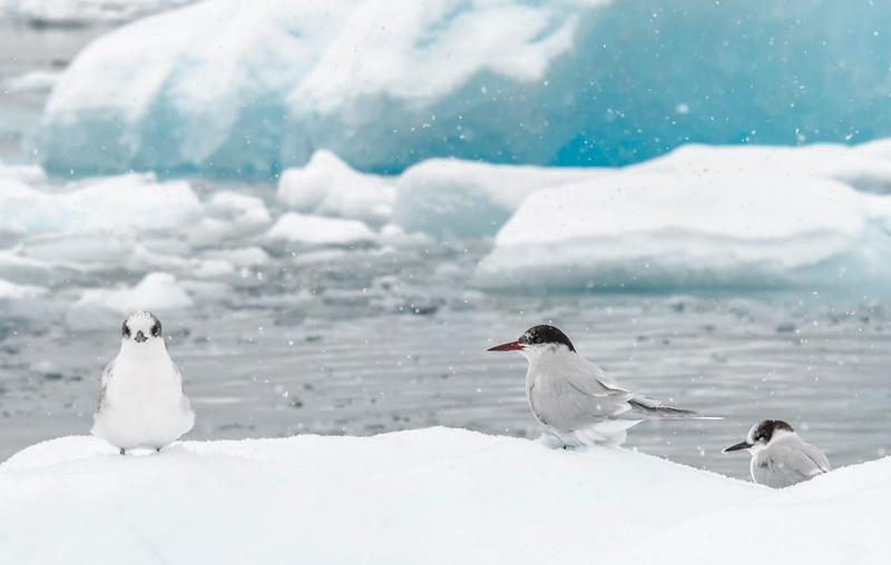 Arctic Terns_Cierva Cove_Antarctic Sound-2.jpg