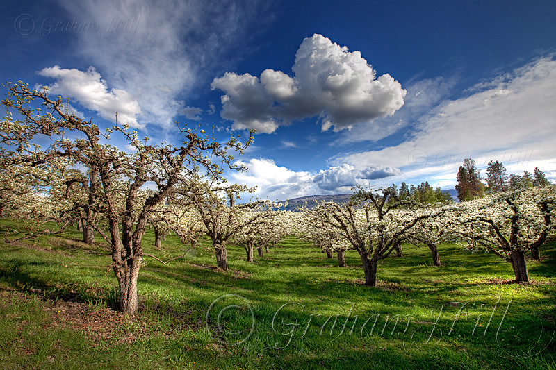 Okanagan-13-Pear Orchard.jpg