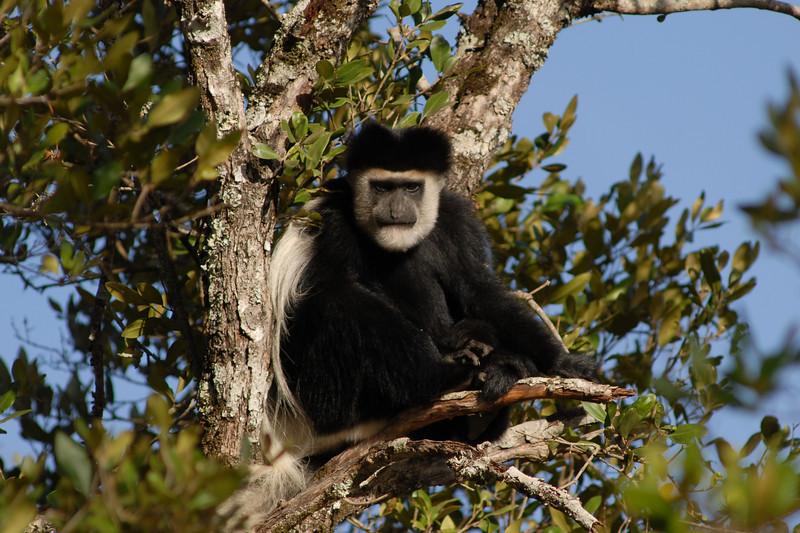 009_6513 Colobus Monkey.jpg