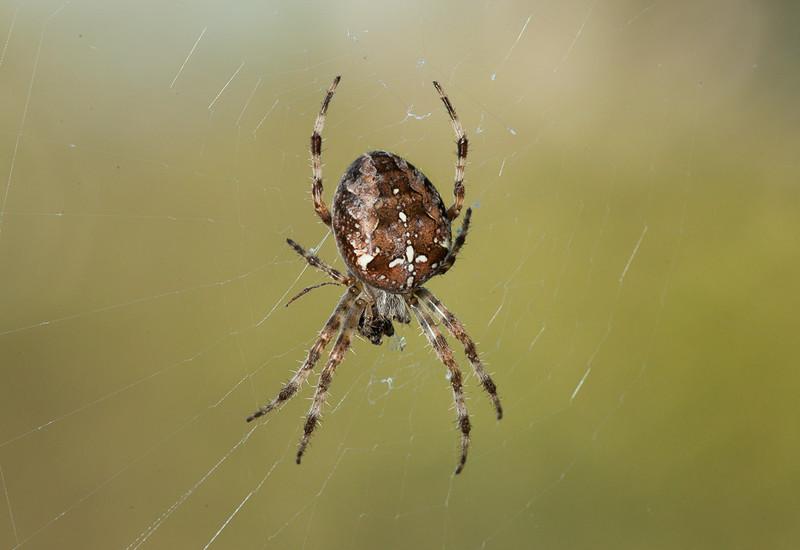 European Garden Spider (araneus diadematus).