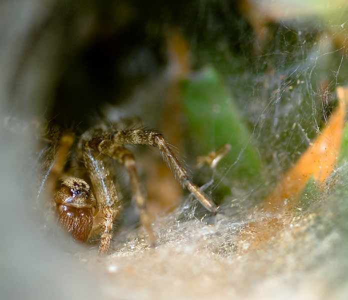 "26 - ""Funnel-Web Spider Peeking Around the Curve of its Hall"" by ravenintherain (Dale Chase) E-3 + 50mm/f2 + EC20 and internal flash. Tripod mounted.  Sunny day but the spider was deep in its web and there was a light veil of web across the funnel.  Cropped, toned and sharpened in LightRoom 1.4."