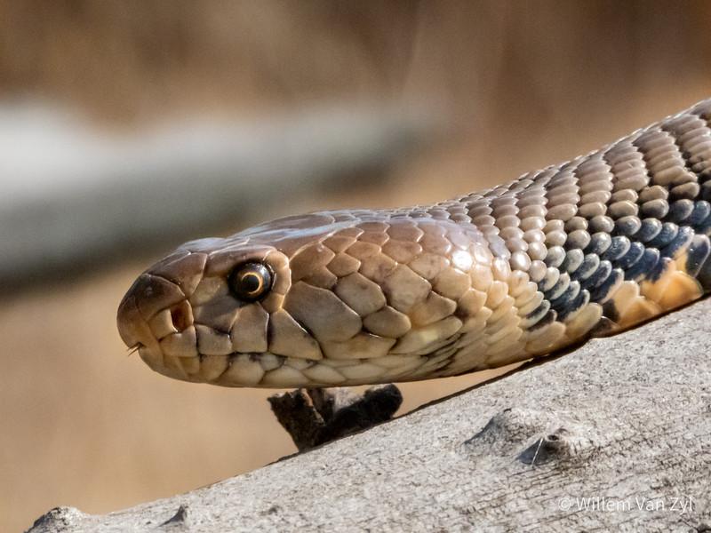 20190803 Mozambique Spitting Cobra (Naja mossambica) from Gauteng