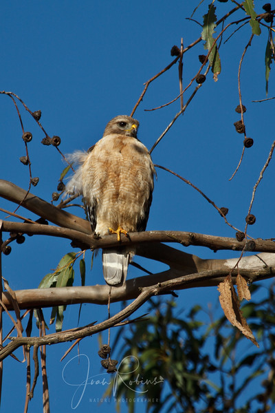 Mom Red-shouldered Hawk near nest.
