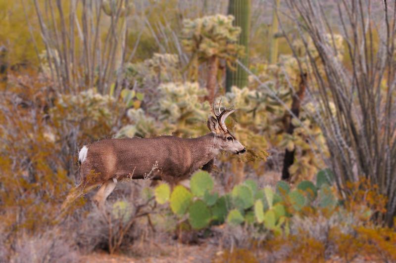 Mule Deer in Desert #2