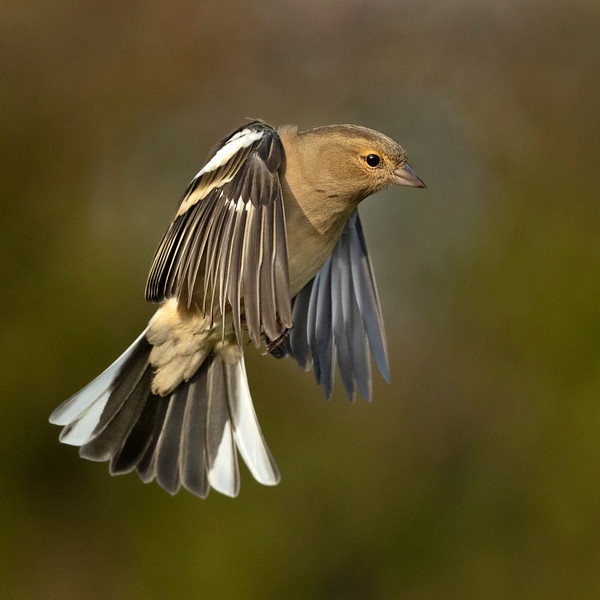 Female chaffinch flying
