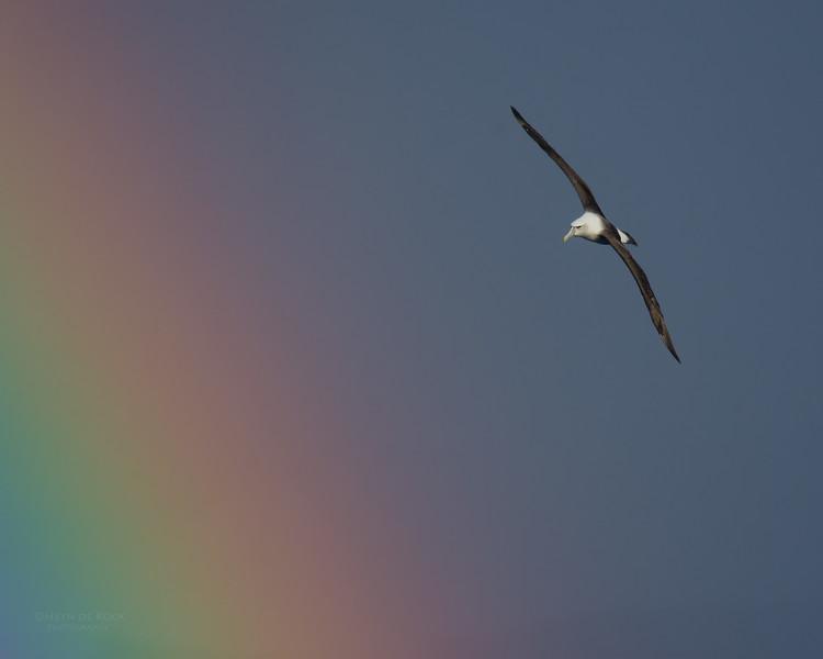 Shy Albatross, Eaglehawk Neck Pelagic, TAS, May 2016-2.jpg