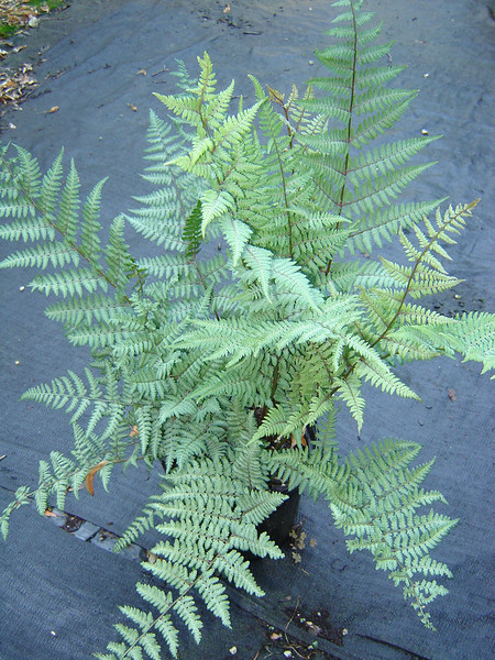 Athyrium 'Ghost' 