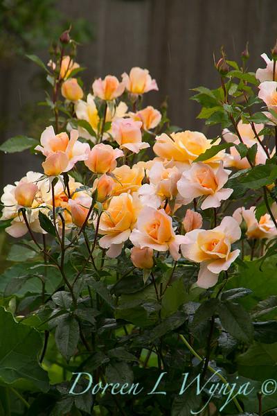 Rose_8370.jpg