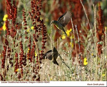 LesserGoldfinches16045.jpg