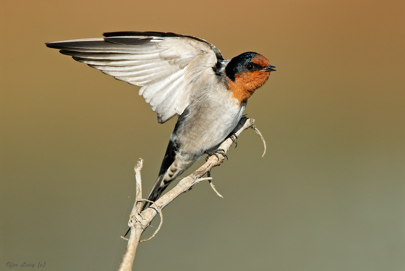 Welcome Swallow 2.jpg