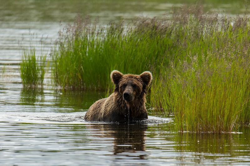 Katmai Bears-158.jpg