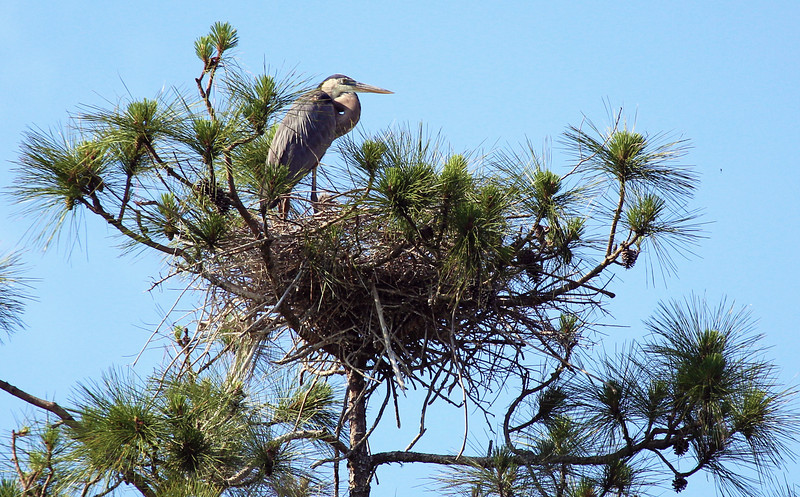 Great Blue Heron mother tending her nest.