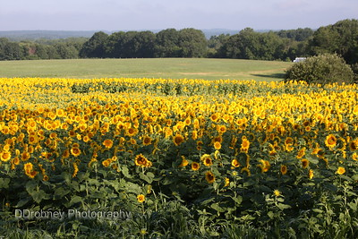 Buttonwood Farm - Sunflower Festival - updated for 2009 and 2010!