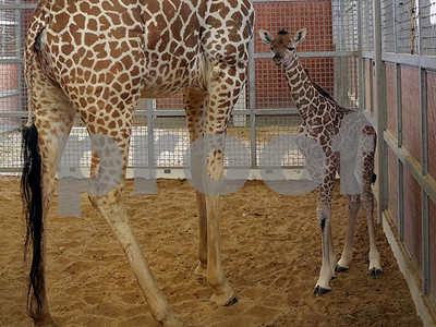 public-asked-to-vote-on-name-for-dallas-zoos-newest-baby-giraffe
