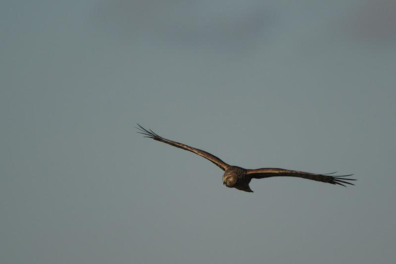 Hen Harrier, Circus cyaneus. Ilperveld. The Netherlands.