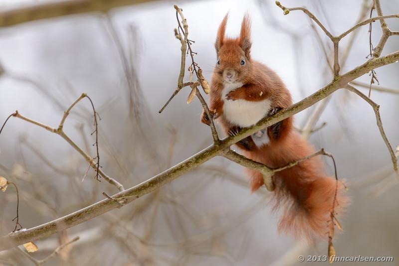 Egern (Sciurus vulgaris - Red squirrel)
