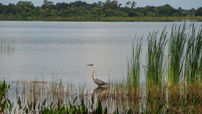 Great blue heron in lake