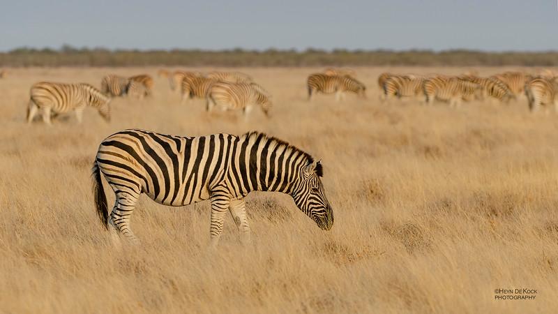 Plains Zebra, Etosha NP, NAM, Jul 2011.jpg