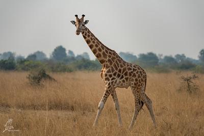 Giraffe, Rothschild's