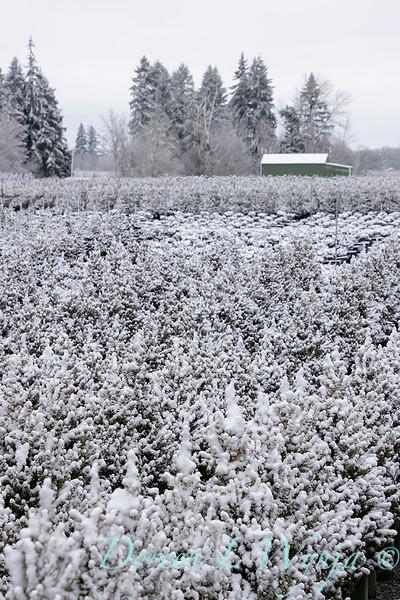 Conifer can yard in snow_4092.jpg
