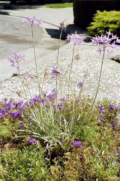 purple flowers of ornamental garlic and also of low-growing plant