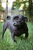 This black pug was photographed in a back yard of one of our client's home.  As a Richmond pet portrait photographer, Robert Ranson will come to your home to photograph your pets.  Ranson Photography will also go to any other desired location of our clients. We also offer studio pet portrait sessions in our Richmond photography studio as well.