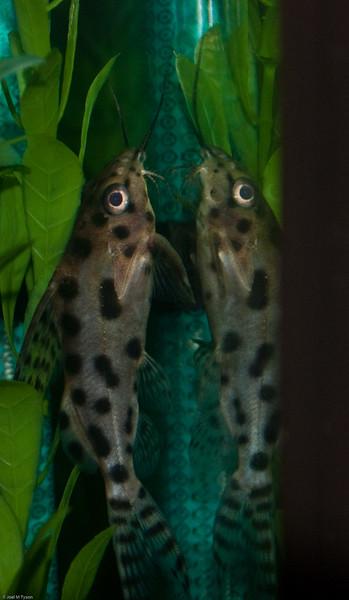 African Catfish (Black-Spotted Synodontis) 3177974759.jpg