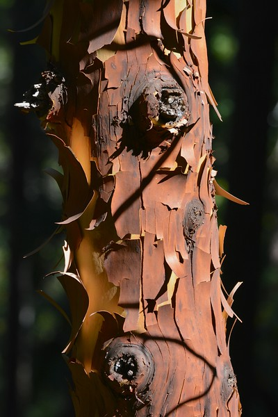 The Madrone Tree