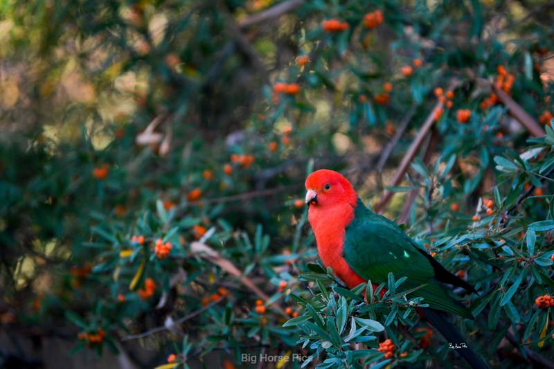 KIng Parrot bhp.jpg