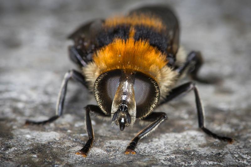 Bumble Bee Macro-7336.JPG