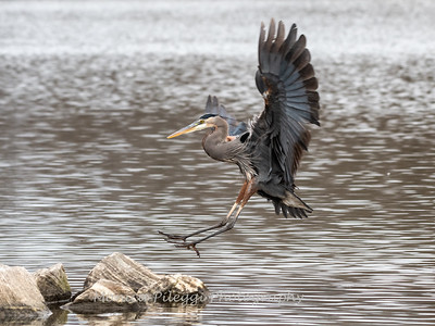 Great Blue Herons, Dec 2018
