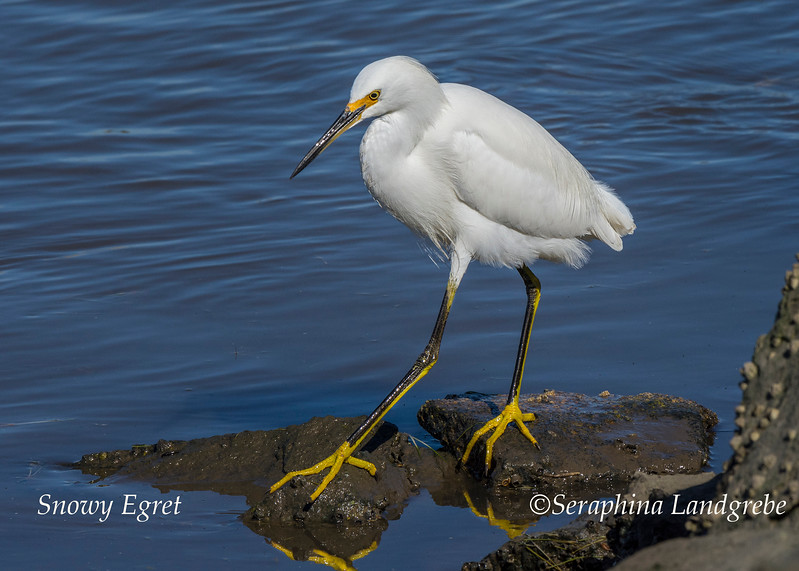 _DSC3725Snowy Egret Yellow slippers.jpg