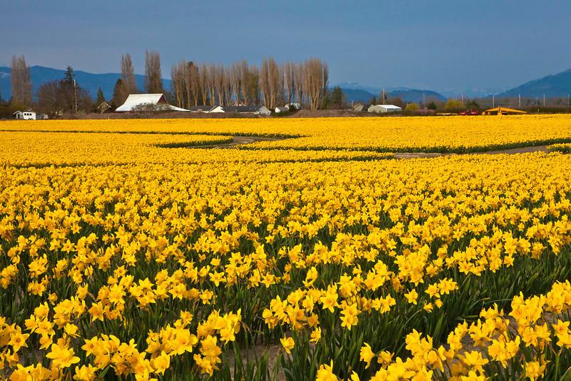 Daffodils 6847
