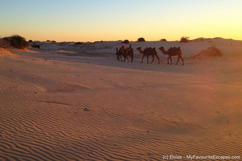 camels sand dunes sunset