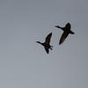 Silhoutte of ducks in flight