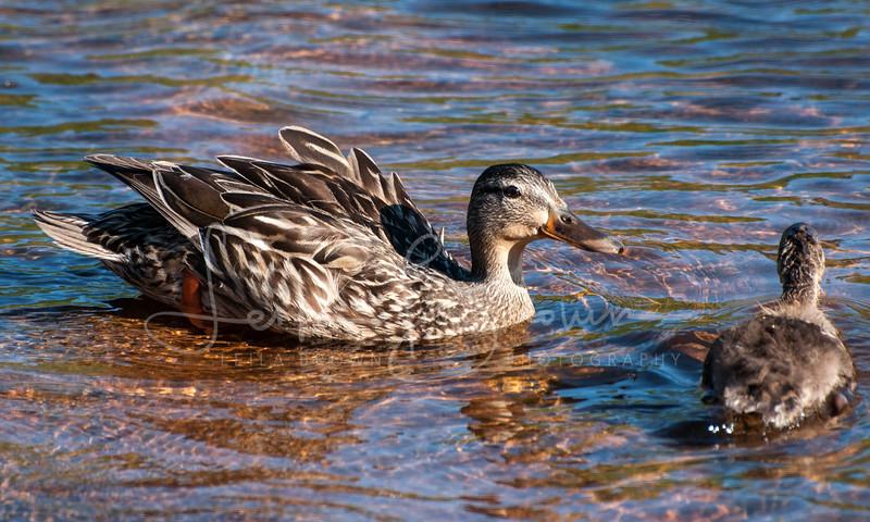 Ducks at Port Sydney Falls-2.jpg