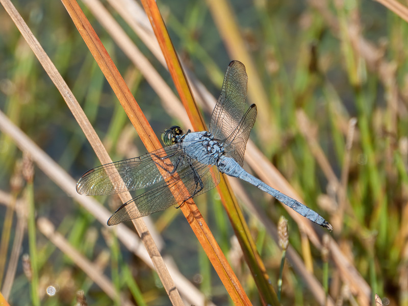 Eastern Pondhawk (Erythemis simplicicollis), male