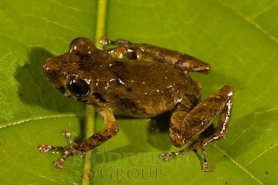 Pristimantis sp. nov. (mottled, smooth-skinned)