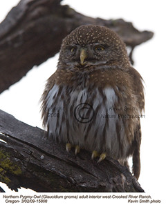 NorthernPygmyOwl15808.jpg