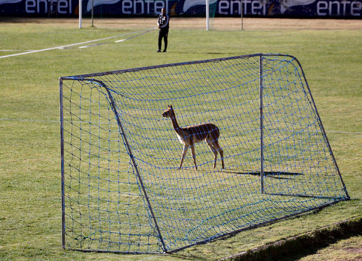 . A guanaco, mascot of The Strongest soccer team, near the goal during a training session in La Paz, Bolivia.  REUTERS/David Mercado
