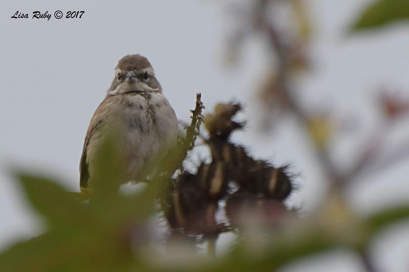 Black-throated Sparrow - 10/01/2017 - Del Mar Public Works